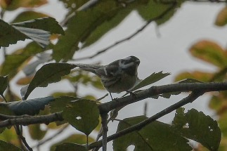 Black-throated Gray Warbler (PS)
