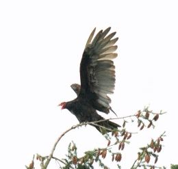 Turkey Vulture (BA)