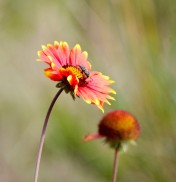 Blanket Flower (GB)