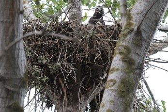 Bald Eagle juv. in nest (TC)