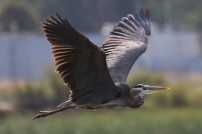 Great Blue Heron (TC)