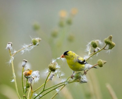American Goldfinch (GB)