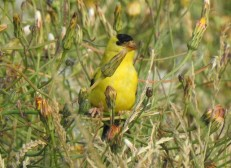 American Goldfinch (RM)