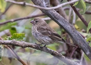 House Finch (juv) (DH)