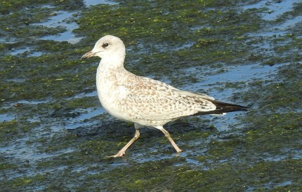 Ring-billed Gull (juv) (RM)